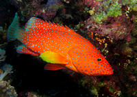 02 Coral Grouper Elphinstone Reef_Chris Champ
