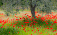 18 POPPIES IN THE SHADE_Peter Tulloch